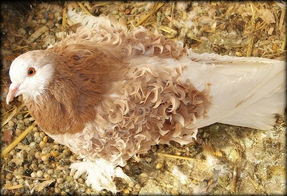 Frillback Pigeon - photo by Jennifer Graevell